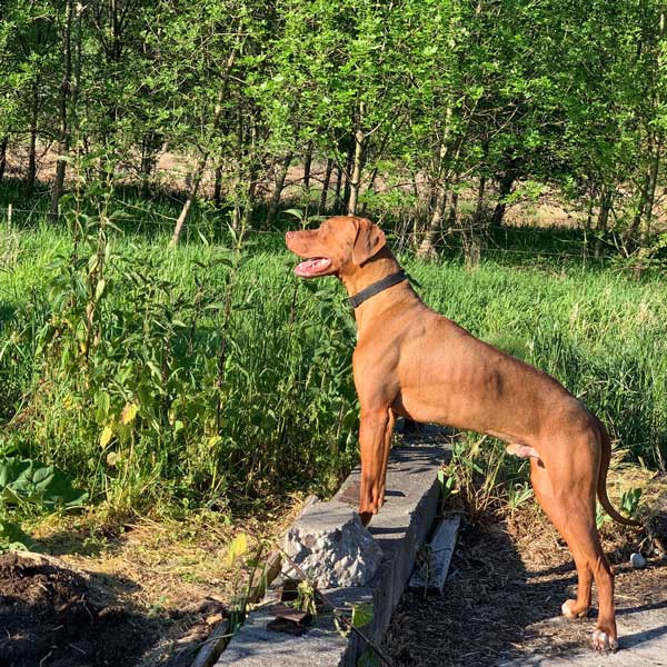 Sweet Derry the Rhodesian Ridgeback Boy is available now!