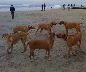 Our Grown up Ridgebacks and their families having fun