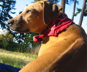 ApacheRidge Ranch Rhodesian Ridgebacks
