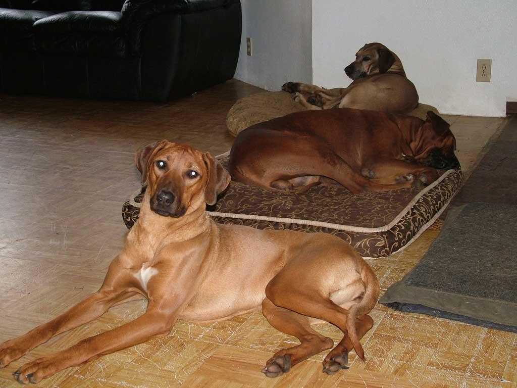 Rhodesian Ridgeback Puppies - Contact Us   Rhodesian