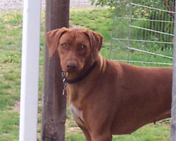 SouthRidge ApacheRed Kelly | Love your Ridgeback