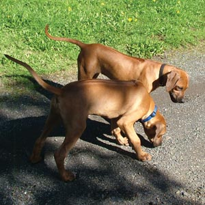 Preparing for your Rhodesian Ridgeback Puppy