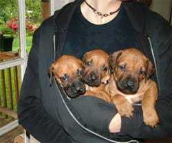 Love Your Ridgeback Puppies