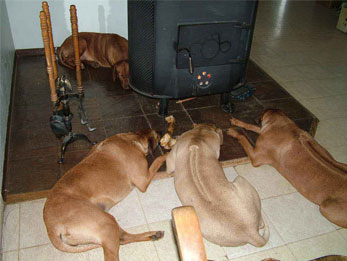 Ridgebacks relaxing by the woodstove...