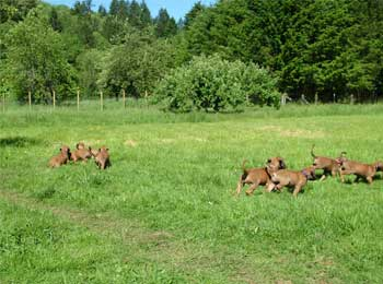 Sweet Rhodesian Ridgeback Puppies at ApacheRidge Ranch in Washington